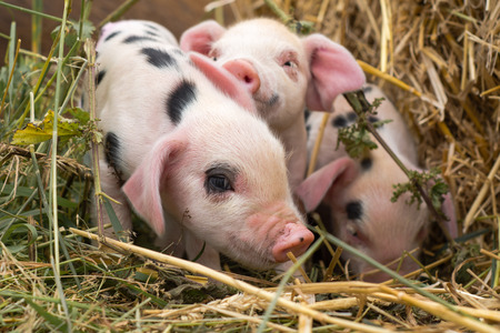 Foto de Oxford Sandy and Black piglets in straw. Four day old domestic pigs outdoors, with black spots on pink skin - Imagen libre de derechos