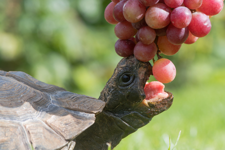Photo for Tortoise with mouth open eating grapes. Pet tortoise showing beak and tongue as it stretches to take fruit - Royalty Free Image