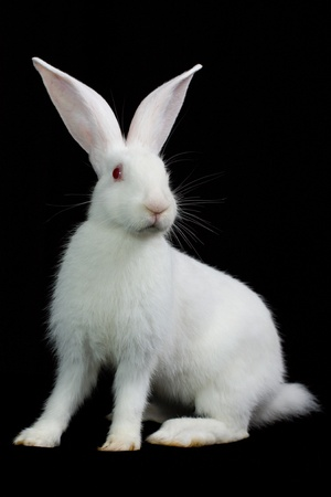 White fluffy rabbit on a black background