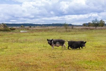 Vietnamese wild boar and pig on a meadow