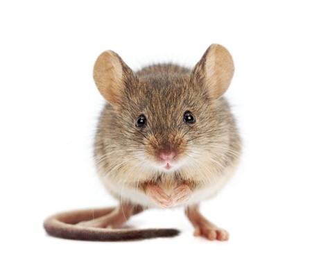Photo for House mouse standing on rear feet  Mus musculus  - Royalty Free Image