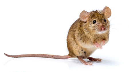 Photo for House mouse standing on rear feet (Mus musculus) - Royalty Free Image