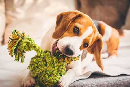 Photo pour Dog with rope toy on sofa. Excited about biting a toy. - image libre de droit