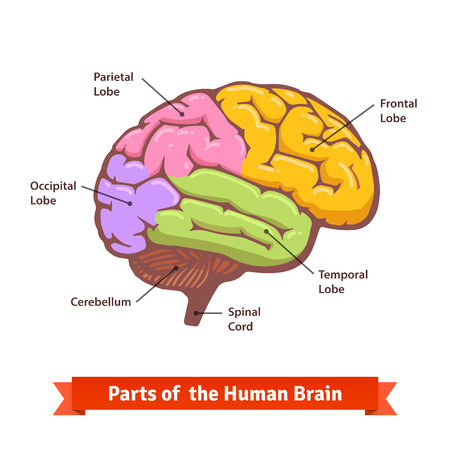 Illustration pour Colored and labeled human brain diagram. Flat vector illustration. - image libre de droit