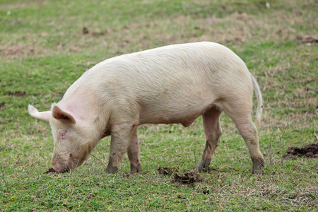 Young pigs graze in green meadow