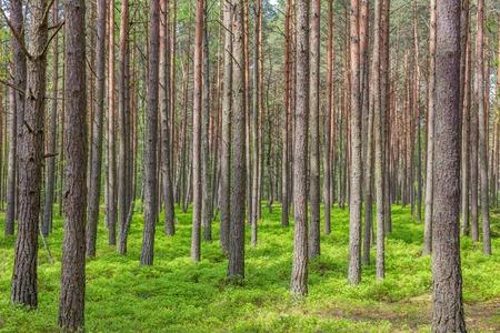 Foto de Pine trees in the forest green trees summer - Imagen libre de derechos