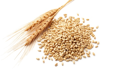 wheat ears  triticum  and wheat kernels isolated on white