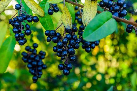 Photo pour Berries on bush of common privet plant (Ligustrum vulgare) - image libre de droit