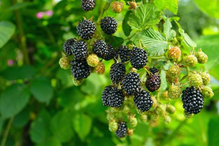 Photo for ripe  blackberry on a branch - Royalty Free Image