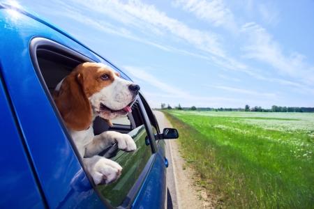Photo pour The cute beagle  travels in the blue car. - image libre de droit