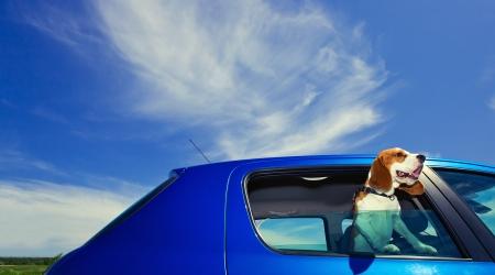 The cute beagle  travels in the blue car