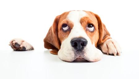 Photo pour beagle - image libre de droit