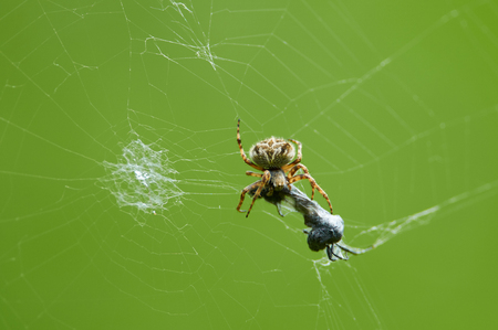 Photo for European garden spider (Araneus diadematus) caught a victim (insect) in its web and eats it. - Royalty Free Image