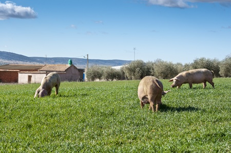 Three pigs grazing in field next to a small hamlet