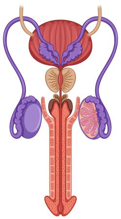 Illustration pour Inside of male reproductive system illustration - image libre de droit