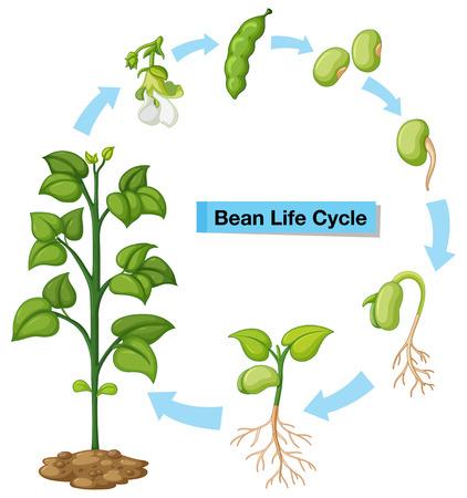 Ilustración de Diagram showing bean life cycle illustration - Imagen libre de derechos