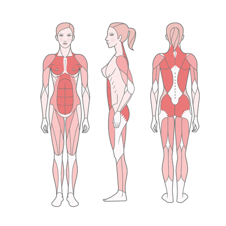 Illustration for Figure of the woman, the scheme of the basic trained muscles. Front, rear and side views. Vector. Isolated on white background - Royalty Free Image