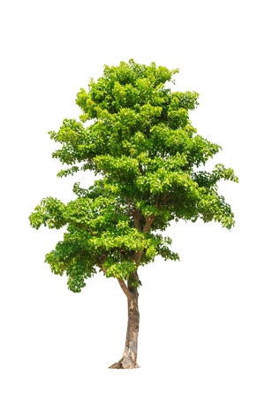 Pterocarpus indicus known by several common names, including Amboine, Pashu Padauk, Malay Paduak, New Guinea Rosewood, tropical tree in the northeast of Thailand isolated on white background