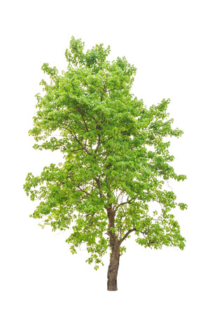 New Guinea Rosewood tropical tree in the northeast of Thailand isolated on white background