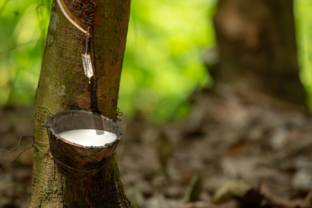 Photo pour latex extracted from rubber tree source of natural rubber - image libre de droit