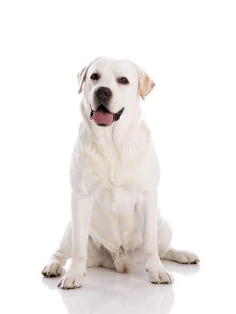 Foto de Beautiful labrador retriever breed, isolated on white background - Imagen libre de derechos