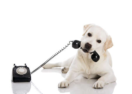 Photo pour Portrait of a labrador retriever holding a telefone with mouth - image libre de droit
