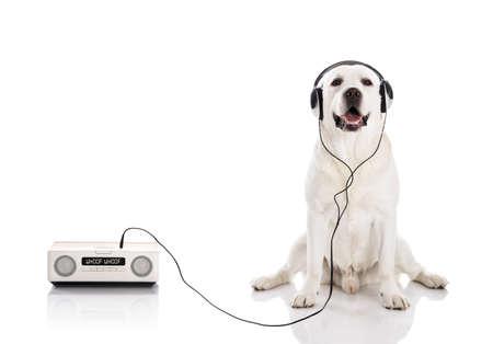 Photo for Labrador retriever listen music with headphones - Royalty Free Image