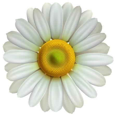 Illustration pour Chamomile flower - image libre de droit