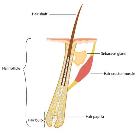 Illustration pour Human hair structure - image libre de droit