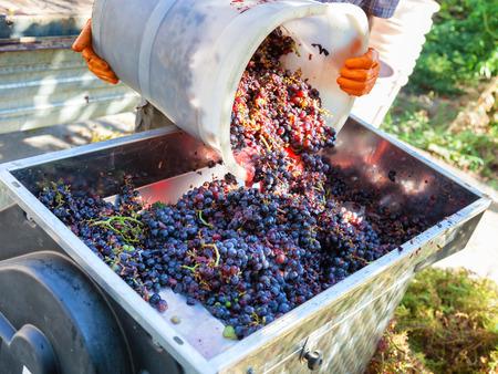 Photo pour making wine with red grapes - image libre de droit