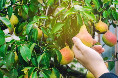 Photo pour gardener harvesting pears in the garden on a sunny day. autumn harvest. healthy vegetables, diet vitamins - image libre de droit