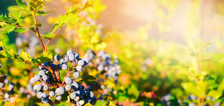 blue berries Mahonia aquifolium (Oregon-grape or Oregon grape) and bush is a species of flowering plant in the family Berberidaceae, native to western North America. natural wallpaper. banner