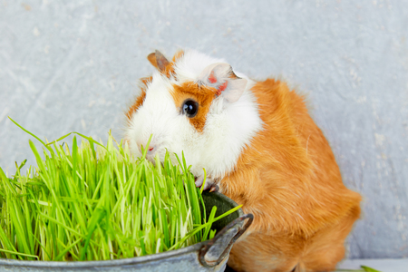 Redhead  guinea pig near vase with fresh grass. Studio foto.