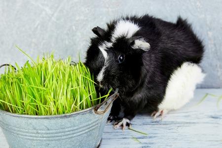 Blacck guinea pig near vase with fresh grass. Studio foto.