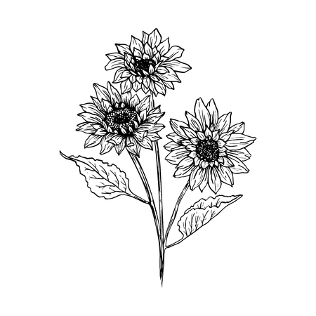 Illustration for Sunflower hand drawn vector illustration. Floral ink pen sketch. Black and white clipart. Realistic wildflower freehand drawing. Isolated monochrome floral design element. Sketched outline - Royalty Free Image