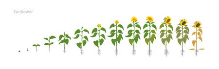 Illustration pour Sunflower plant. Helianthus annuus. Growth stages vector illustration. - image libre de droit