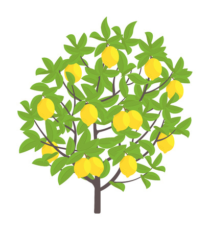 Illustration for Lemon tree. Vector illustration. Fruit tree plant. Flat vector color Illustration clipart. Ripe on Lemon tree. On white background. Citrus limon. - Royalty Free Image