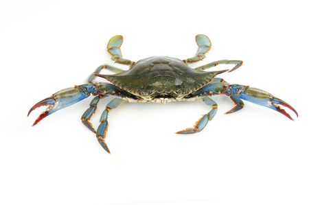 Photo pour live blue crab isolated on white background - image libre de droit