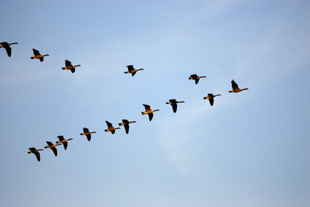 Photo for flying Canada gooses in group under blue sky - Royalty Free Image