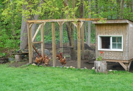 Foto de close up on chicken in side coop in back yard - Imagen libre de derechos