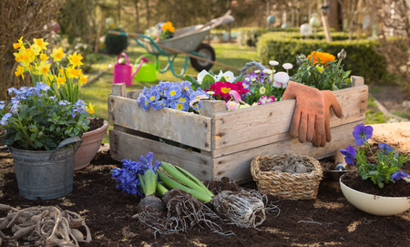 Foto de Spring: Gardening in autumn with flowers of primula, hyacinth and forget-me-not. Country life at home. - Imagen libre de derechos