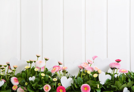 Photo for Daisy pink spring time flowers on white wooden background for decoration items. - Royalty Free Image
