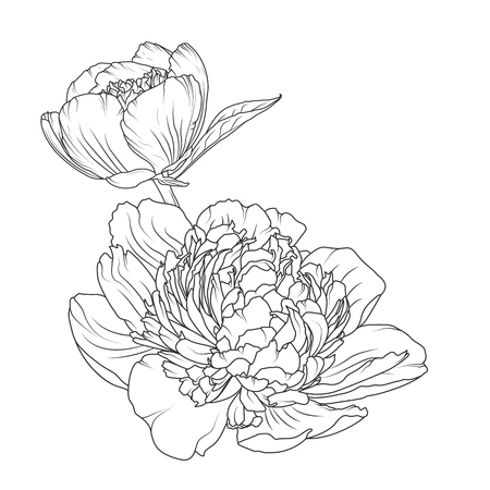 Illustration for Peony rose blooming garden flowers detailed outline sketch drawing. Botanical vector design illustration. Black and white hand drawn isolated design element. Close up macro view. - Royalty Free Image