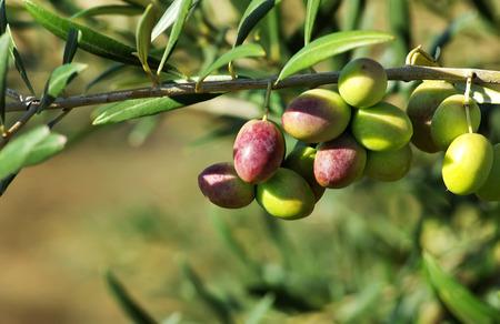 Photo pour olives on branch - image libre de droit