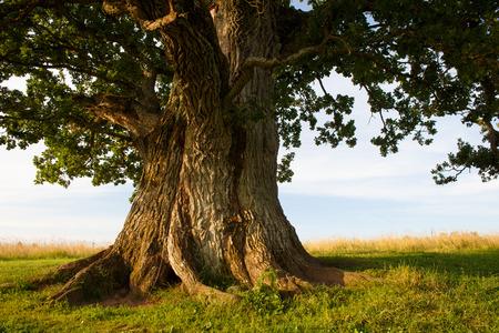 Photo pour Grand oak in Urvaste, Estonia - image libre de droit