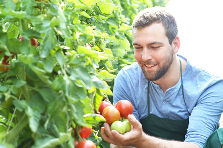 Photo pour happy farmer growing tomatoes in a greenhouse - image libre de droit