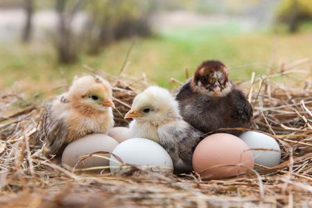Photo pour Little chicks in the hay with eggs - image libre de droit