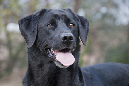 Foto de Portrait of a black labrador - Imagen libre de derechos