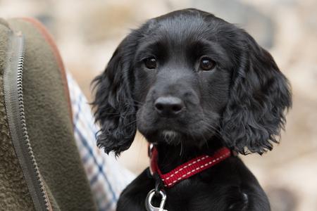 Foto de A future shooting dog; working cocker spaniel puppy - Imagen libre de derechos