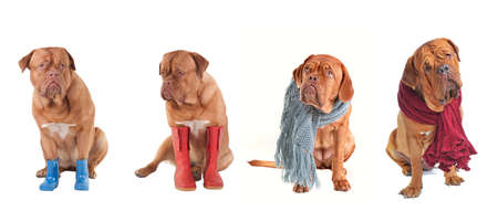 Four Dogs Dressed in Winter and Autumn Clothes isolated on white background